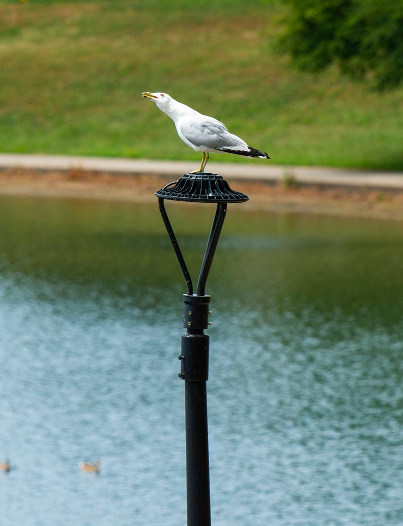 Gull on a lamp post